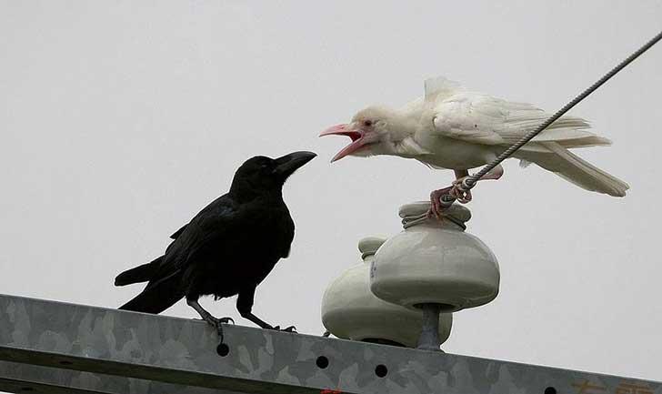 Los cuervos se caracterizan por su plumaje de color negro intenso y brillante, pero también está su contraparte: los cuervos blancos. debido a la falta de melanina, las plumas negras se sustituyen con un plumaje blanco casi fantasmal.