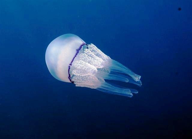 El trono para el animal más venenoso pertenece a esta medusa oriunda de Asia y Oceanía. La mayoría de sus numerosas víctimas sufren un ataque cardiaco antes de siquiera poder salir del agua. No lo dudes ni un segundo, si te encuentras uno de estos animales sal nadando de inmediato.