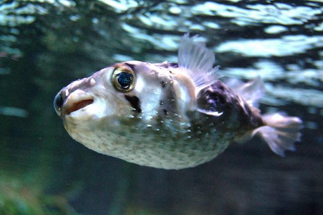 Uno de los peces más venenosos del mundo. Si ingieres su veneno puedes morir en 24 horas. En Japón es considerado un manjar, pero sólo chefs especializados con licencia pueden prepararlo, por lo peligroso que resulta.