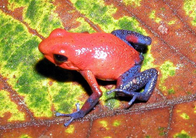 Esta espectacular rana de colores alucinantes es mortal. Su toxina venenosa se encuentra en todo su cuerpo, basta tocarla para correr peligro. Esta rana que podría matar hasta a diez personas habita en Centro y Sudamérica.