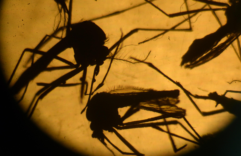 zika mosquito el salvador