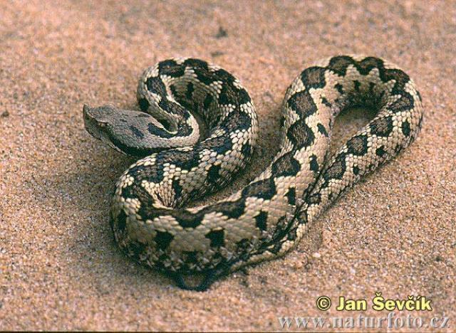 Es la serpiente que provoca más muertes en el mundo por sus ataques al cabo del año, puede llegar a provocar la muerte en 15 minutos.