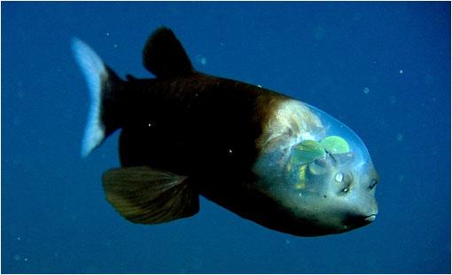 Cuanto más conocemos la naturaleza  menos nos sorprenden las películas de ciencia ficción. El Macropinna microstoma, al igual que una especie de tiburón prehistórico, posee una fisonomía bastante particular: su cabeza es transparente y posee ojos tubulares.