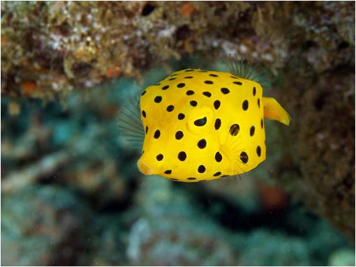 Un cubo con aletas es la más precisa descripción de este pez. De color amarillo con motas negras. Cuando se siente amenazado libera una toxina (Ostracitoxin) que contamina el agua. Su carne también es tóxica.