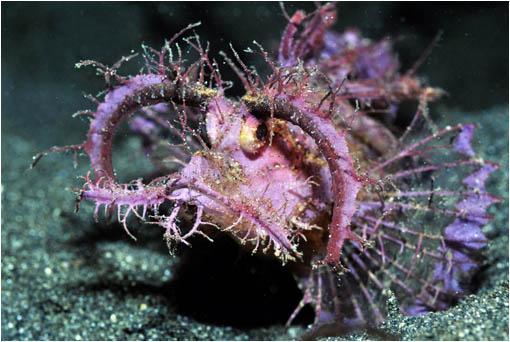Habita las costas de  Australia, Fiji, el Océano Índico, el Mar Rojo y el Mar Amarillo. Su veneno puede causar la muerte a un ser humano.