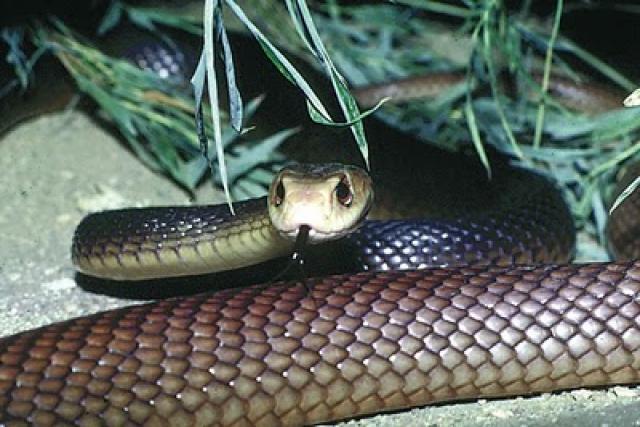 Esta serpiente es una de las más agresivas que nos podemos encontrar y posee veneno para matar hasta 120 personas. Habita en el norte de Australia y en Nueva Guinea.