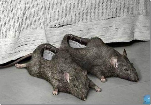 Zapato Rata